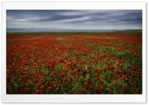 Red Poppy Fields HD Wide Wallpaper for Widescreen