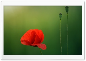 Red Poppy Flower Close-up, Green Background HD Wide Wallpaper for 4K UHD Widescreen desktop & smartphone