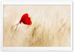 Red Poppy, Golden Wheat Field Ultra HD Wallpaper for 4K UHD Widescreen desktop, tablet & smartphone