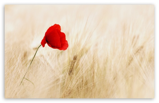 Red Poppy, Golden Wheat Field ❤ 4K UHD Wallpaper for Wide 16:10 5:3 Widescreen WHXGA WQXGA WUXGA WXGA WGA ; 4K UHD 16:9 Ultra High Definition 2160p 1440p 1080p 900p 720p ; Standard 4:3 5:4 3:2 Fullscreen UXGA XGA SVGA QSXGA SXGA DVGA HVGA HQVGA ( Apple PowerBook G4 iPhone 4 3G 3GS iPod Touch ) ; Smartphone 5:3 WGA ; Tablet 1:1 ; iPad 1/2/Mini ; Mobile 4:3 5:3 3:2 16:9 5:4 - UXGA XGA SVGA WGA DVGA HVGA HQVGA ( Apple PowerBook G4 iPhone 4 3G 3GS iPod Touch ) 2160p 1440p 1080p 900p 720p QSXGA SXGA ; Dual 16:10 5:3 16:9 4:3 5:4 WHXGA WQXGA WUXGA WXGA WGA 2160p 1440p 1080p 900p 720p UXGA XGA SVGA QSXGA SXGA ;