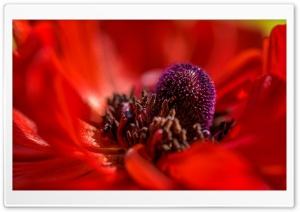 Red Poppy Macro HD Wide Wallpaper for Widescreen