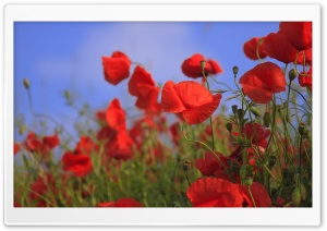 Red Poppy Meadow HD Wide Wallpaper for Widescreen