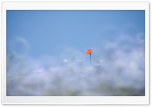 Red Poppy, Out Of Focus Blue Background HD Wide Wallpaper for Widescreen