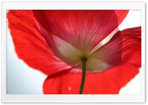 Red Poppy Petals HD Wide Wallpaper for Widescreen