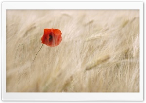 Red Poppy, Wheat Field HD Wide Wallpaper for Widescreen