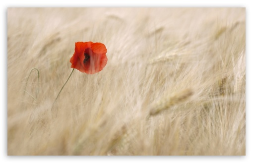 Red Poppy, Wheat Field ❤ 4K UHD Wallpaper for Wide 16:10 5:3 Widescreen WHXGA WQXGA WUXGA WXGA WGA ; 4K UHD 16:9 Ultra High Definition 2160p 1440p 1080p 900p 720p ; UHD 16:9 2160p 1440p 1080p 900p 720p ; Standard 4:3 5:4 3:2 Fullscreen UXGA XGA SVGA QSXGA SXGA DVGA HVGA HQVGA ( Apple PowerBook G4 iPhone 4 3G 3GS iPod Touch ) ; Smartphone 5:3 WGA ; Tablet 1:1 ; iPad 1/2/Mini ; Mobile 4:3 5:3 3:2 16:9 5:4 - UXGA XGA SVGA WGA DVGA HVGA HQVGA ( Apple PowerBook G4 iPhone 4 3G 3GS iPod Touch ) 2160p 1440p 1080p 900p 720p QSXGA SXGA ; Dual 16:10 5:3 16:9 4:3 5:4 WHXGA WQXGA WUXGA WXGA WGA 2160p 1440p 1080p 900p 720p UXGA XGA SVGA QSXGA SXGA ;