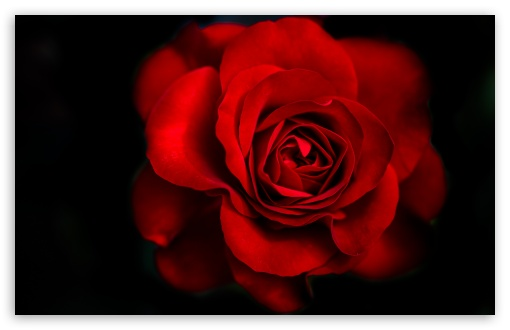 Red Rose HD wallpaper for Wide 16:10 5:3 Widescreen WHXGA WQXGA WUXGA WXGA WGA ; HD 16:9 High Definition WQHD QWXGA 1080p 900p 720p QHD nHD ; UHD 16:9 WQHD QWXGA 1080p 900p 720p QHD nHD ; Standard 4:3 5:4 3:2 Fullscreen UXGA XGA SVGA QSXGA SXGA DVGA HVGA HQVGA devices ( Apple PowerBook G4 iPhone 4 3G 3GS iPod Touch ) ; Tablet 1:1 ; iPad 1/2/Mini ; Mobile 4:3 5:3 3:2 16:9 5:4 - UXGA XGA SVGA WGA DVGA HVGA HQVGA devices ( Apple PowerBook G4 iPhone 4 3G 3GS iPod Touch ) WQHD QWXGA 1080p 900p 720p QHD nHD QSXGA SXGA ; Dual 16:10 5:3 16:9 4:3 5:4 WHXGA WQXGA WUXGA WXGA WGA WQHD QWXGA 1080p 900p 720p QHD nHD UXGA XGA SVGA QSXGA SXGA ;