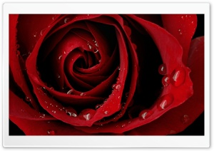 Red Rose HD Wide Wallpaper for 4K UHD Widescreen desktop & smartphone