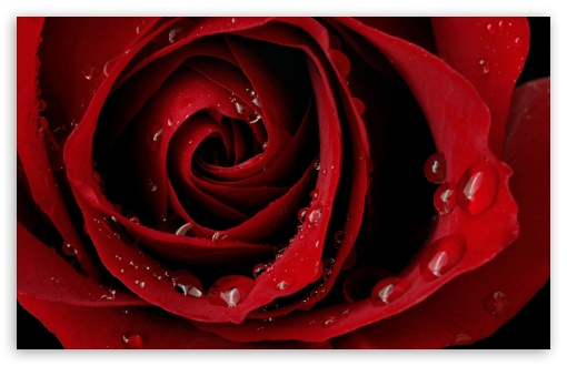 Red Rose HD wallpaper for Wide 16:10 5:3 Widescreen WHXGA WQXGA WUXGA WXGA WGA ; HD 16:9 High Definition WQHD QWXGA 1080p 900p 720p QHD nHD ; Standard 4:3 5:4 3:2 Fullscreen UXGA XGA SVGA QSXGA SXGA DVGA HVGA HQVGA devices ( Apple PowerBook G4 iPhone 4 3G 3GS iPod Touch ) ; Tablet 1:1 ; iPad 1/2/Mini ; Mobile 4:3 5:3 3:2 16:9 5:4 - UXGA XGA SVGA WGA DVGA HVGA HQVGA devices ( Apple PowerBook G4 iPhone 4 3G 3GS iPod Touch ) WQHD QWXGA 1080p 900p 720p QHD nHD QSXGA SXGA ;