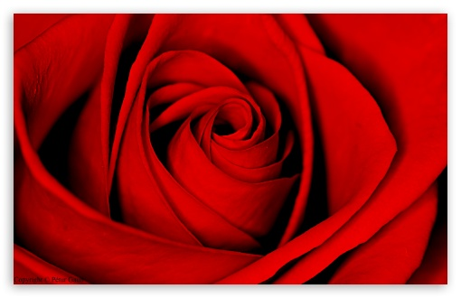 Red Rose ❤ 4K UHD Wallpaper for Wide 16:10 5:3 Widescreen WHXGA WQXGA WUXGA WXGA WGA ; 4K UHD 16:9 Ultra High Definition 2160p 1440p 1080p 900p 720p ; Standard 4:3 5:4 3:2 Fullscreen UXGA XGA SVGA QSXGA SXGA DVGA HVGA HQVGA ( Apple PowerBook G4 iPhone 4 3G 3GS iPod Touch ) ; Tablet 1:1 ; iPad 1/2/Mini ; Mobile 4:3 5:3 3:2 16:9 5:4 - UXGA XGA SVGA WGA DVGA HVGA HQVGA ( Apple PowerBook G4 iPhone 4 3G 3GS iPod Touch ) 2160p 1440p 1080p 900p 720p QSXGA SXGA ;
