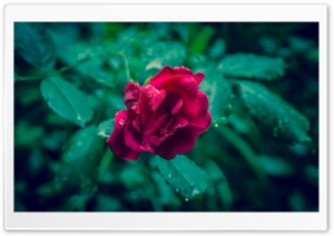 Red Rose and Green Leaves HD Wide Wallpaper for 4K UHD Widescreen desktop & smartphone