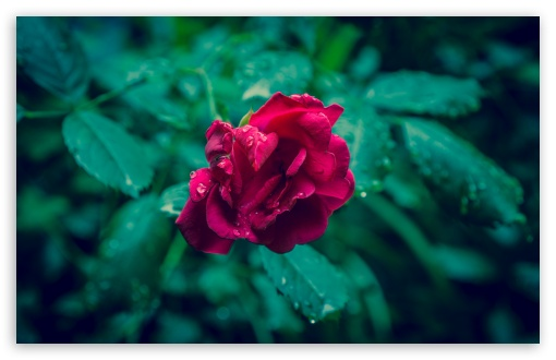 Red Rose and Green Leaves ❤ 4K UHD Wallpaper for Wide 16:10 5:3 Widescreen WHXGA WQXGA WUXGA WXGA WGA ; 4K UHD 16:9 Ultra High Definition 2160p 1440p 1080p 900p 720p ; UHD 16:9 2160p 1440p 1080p 900p 720p ; Standard 4:3 5:4 3:2 Fullscreen UXGA XGA SVGA QSXGA SXGA DVGA HVGA HQVGA ( Apple PowerBook G4 iPhone 4 3G 3GS iPod Touch ) ; Smartphone 5:3 WGA ; Tablet 1:1 ; iPad 1/2/Mini ; Mobile 4:3 5:3 3:2 16:9 5:4 - UXGA XGA SVGA WGA DVGA HVGA HQVGA ( Apple PowerBook G4 iPhone 4 3G 3GS iPod Touch ) 2160p 1440p 1080p 900p 720p QSXGA SXGA ;