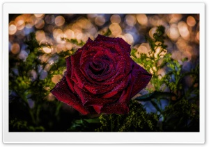 Red Rose, Bokeh HD Wide Wallpaper for Widescreen