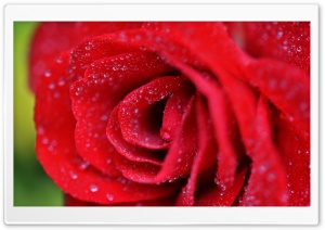 Red Rose Closeup HD Wide Wallpaper for Widescreen