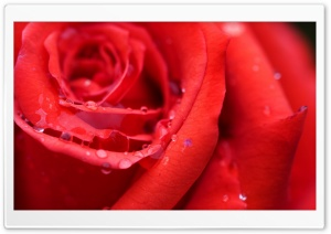 Red Rose Flower HD Wide Wallpaper for Widescreen