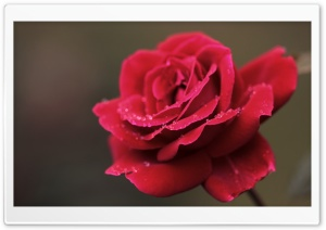 Red Rose Flower Macro HD Wide Wallpaper for Widescreen