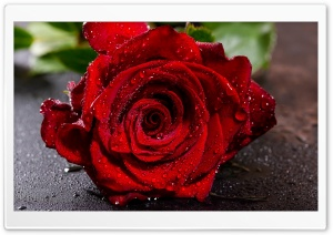 Red Rose Flower Macro, Water Drops Ultra HD Wallpaper for 4K UHD Widescreen desktop, tablet & smartphone