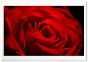 Red Rose Love Flower HD Wide Wallpaper for Widescreen