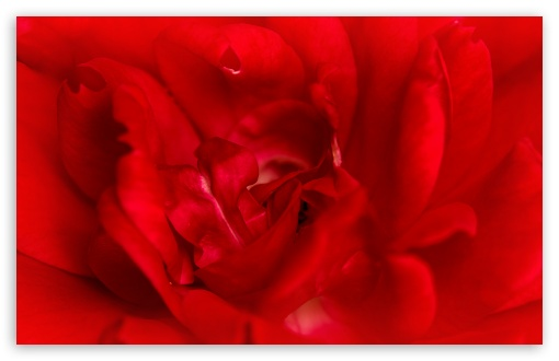 Red Rose Macro HD wallpaper for Wide 16:10 5:3 Widescreen WHXGA WQXGA WUXGA WXGA WGA ; HD 16:9 High Definition WQHD QWXGA 1080p 900p 720p QHD nHD ; UHD 16:9 WQHD QWXGA 1080p 900p 720p QHD nHD ; Standard 4:3 5:4 3:2 Fullscreen UXGA XGA SVGA QSXGA SXGA DVGA HVGA HQVGA devices ( Apple PowerBook G4 iPhone 4 3G 3GS iPod Touch ) ; Smartphone 5:3 WGA ; Tablet 1:1 ; iPad 1/2/Mini ; Mobile 4:3 5:3 3:2 16:9 5:4 - UXGA XGA SVGA WGA DVGA HVGA HQVGA devices ( Apple PowerBook G4 iPhone 4 3G 3GS iPod Touch ) WQHD QWXGA 1080p 900p 720p QHD nHD QSXGA SXGA ;