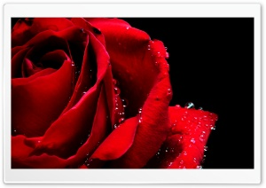 Red Rose Macro HD Wide Wallpaper for Widescreen