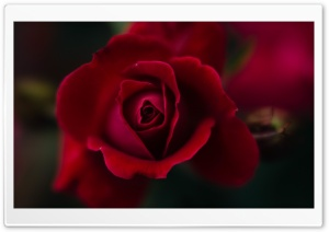 Red Rose Macro Ultra HD Wallpaper for 4K UHD Widescreen desktop, tablet & smartphone