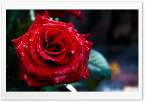 Red Rose Macro Shoot HD Wide Wallpaper for Widescreen