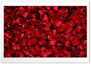 Red Rose Petals HD Wide Wallpaper for Widescreen