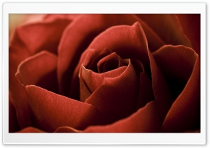 Red Rose Petals Macro HD Wide Wallpaper for Widescreen
