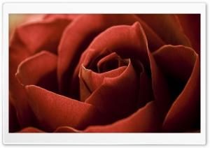 Red Rose Petals Macro Ultra HD Wallpaper for 4K UHD Widescreen desktop, tablet & smartphone