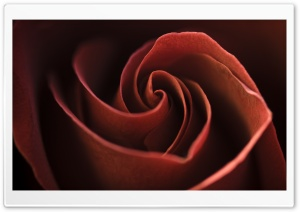 Red Rose Swirl Petals HD Wide Wallpaper for Widescreen