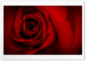 Red Rose Valentine's Day HD Wide Wallpaper for Widescreen