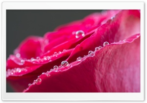 Red Rose Water Drops Macro HD Wide Wallpaper for Widescreen