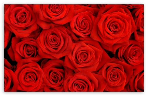 Red Roses HD wallpaper for Wide 16:10 5:3 Widescreen WHXGA WQXGA WUXGA WXGA WGA ; HD 16:9 High Definition WQHD QWXGA 1080p 900p 720p QHD nHD ; Standard 4:3 5:4 3:2 Fullscreen UXGA XGA SVGA QSXGA SXGA DVGA HVGA HQVGA devices ( Apple PowerBook G4 iPhone 4 3G 3GS iPod Touch ) ; Tablet 1:1 ; iPad 1/2/Mini ; Mobile 4:3 5:3 3:2 16:9 5:4 - UXGA XGA SVGA WGA DVGA HVGA HQVGA devices ( Apple PowerBook G4 iPhone 4 3G 3GS iPod Touch ) WQHD QWXGA 1080p 900p 720p QHD nHD QSXGA SXGA ; Dual 16:10 5:3 16:9 4:3 5:4 WHXGA WQXGA WUXGA WXGA WGA WQHD QWXGA 1080p 900p 720p QHD nHD UXGA XGA SVGA QSXGA SXGA ;