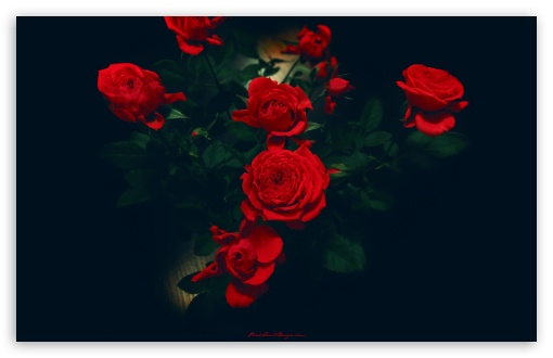 Red Roses HD wallpaper for Wide 16:10 5:3 Widescreen WHXGA WQXGA WUXGA WXGA WGA ; HD 16:9 High Definition WQHD QWXGA 1080p 900p 720p QHD nHD ; Standard 4:3 5:4 3:2 Fullscreen UXGA XGA SVGA QSXGA SXGA DVGA HVGA HQVGA devices ( Apple PowerBook G4 iPhone 4 3G 3GS iPod Touch ) ; iPad 1/2/Mini ; Mobile 4:3 5:3 3:2 16:9 5:4 - UXGA XGA SVGA WGA DVGA HVGA HQVGA devices ( Apple PowerBook G4 iPhone 4 3G 3GS iPod Touch ) WQHD QWXGA 1080p 900p 720p QHD nHD QSXGA SXGA ;