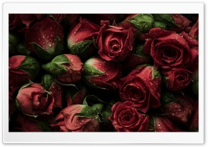 Red Roses Ultra HD Wallpaper for 4K UHD Widescreen desktop, tablet & smartphone