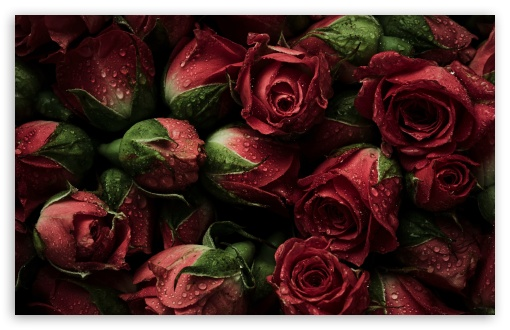 Red Roses UltraHD Wallpaper for Wide 16:10 5:3 Widescreen WHXGA WQXGA WUXGA WXGA WGA ; UltraWide 21:9 ; 8K UHD TV 16:9 Ultra High Definition 2160p 1440p 1080p 900p 720p ; Standard 4:3 5:4 3:2 Fullscreen UXGA XGA SVGA QSXGA SXGA DVGA HVGA HQVGA ( Apple PowerBook G4 iPhone 4 3G 3GS iPod Touch ) ; Smartphone 16:9 3:2 5:3 2160p 1440p 1080p 900p 720p DVGA HVGA HQVGA ( Apple PowerBook G4 iPhone 4 3G 3GS iPod Touch ) WGA ; Tablet 1:1 ; iPad 1/2/Mini ; Mobile 4:3 5:3 3:2 16:9 5:4 - UXGA XGA SVGA WGA DVGA HVGA HQVGA ( Apple PowerBook G4 iPhone 4 3G 3GS iPod Touch ) 2160p 1440p 1080p 900p 720p QSXGA SXGA ;