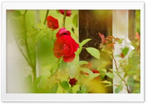 Red Roses   Rosarium Utrecht HD Wide Wallpaper for Widescreen