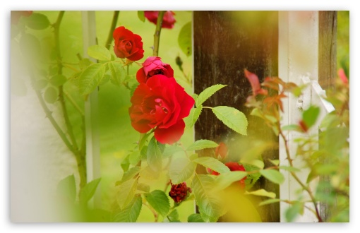 Red Roses   Rosarium Utrecht ❤ 4K UHD Wallpaper for Wide 16:10 5:3 Widescreen WHXGA WQXGA WUXGA WXGA WGA ; 4K UHD 16:9 Ultra High Definition 2160p 1440p 1080p 900p 720p ; UHD 16:9 2160p 1440p 1080p 900p 720p ; Standard 4:3 5:4 3:2 Fullscreen UXGA XGA SVGA QSXGA SXGA DVGA HVGA HQVGA ( Apple PowerBook G4 iPhone 4 3G 3GS iPod Touch ) ; Tablet 1:1 ; iPad 1/2/Mini ; Mobile 4:3 5:3 3:2 16:9 5:4 - UXGA XGA SVGA WGA DVGA HVGA HQVGA ( Apple PowerBook G4 iPhone 4 3G 3GS iPod Touch ) 2160p 1440p 1080p 900p 720p QSXGA SXGA ; Dual 16:10 5:3 16:9 4:3 5:4 WHXGA WQXGA WUXGA WXGA WGA 2160p 1440p 1080p 900p 720p UXGA XGA SVGA QSXGA SXGA ;