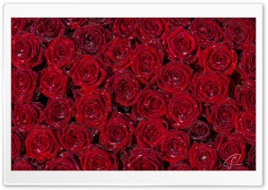Red Roses Background HD Wide Wallpaper for Widescreen