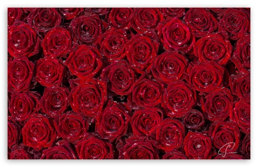 Red Roses Background HD wallpaper for Wide 16:10 5:3 Widescreen WHXGA WQXGA WUXGA WXGA WGA ; HD 16:9 High Definition WQHD QWXGA 1080p 900p 720p QHD nHD ; UHD 16:9 WQHD QWXGA 1080p 900p 720p QHD nHD ; Standard 4:3 5:4 3:2 Fullscreen UXGA XGA SVGA QSXGA SXGA DVGA HVGA HQVGA devices ( Apple PowerBook G4 iPhone 4 3G 3GS iPod Touch ) ; Smartphone 5:3 WGA ; Tablet 1:1 ; iPad 1/2/Mini ; Mobile 4:3 5:3 3:2 16:9 5:4 - UXGA XGA SVGA WGA DVGA HVGA HQVGA devices ( Apple PowerBook G4 iPhone 4 3G 3GS iPod Touch ) WQHD QWXGA 1080p 900p 720p QHD nHD QSXGA SXGA ; Dual 16:10 5:3 16:9 4:3 5:4 WHXGA WQXGA WUXGA WXGA WGA WQHD QWXGA 1080p 900p 720p QHD nHD UXGA XGA SVGA QSXGA SXGA ;