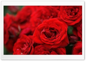 Red Roses Macro HD Wide Wallpaper for 4K UHD Widescreen desktop & smartphone