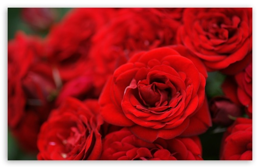 Red Roses Macro HD wallpaper for Wide 16:10 5:3 Widescreen WHXGA WQXGA WUXGA WXGA WGA ; HD 16:9 High Definition WQHD QWXGA 1080p 900p 720p QHD nHD ; Standard 4:3 5:4 3:2 Fullscreen UXGA XGA SVGA QSXGA SXGA DVGA HVGA HQVGA devices ( Apple PowerBook G4 iPhone 4 3G 3GS iPod Touch ) ; Tablet 1:1 ; iPad 1/2/Mini ; Mobile 4:3 5:3 3:2 16:9 5:4 - UXGA XGA SVGA WGA DVGA HVGA HQVGA devices ( Apple PowerBook G4 iPhone 4 3G 3GS iPod Touch ) WQHD QWXGA 1080p 900p 720p QHD nHD QSXGA SXGA ;