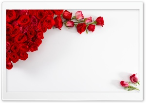 Red Roses On White Background HD Wide Wallpaper for Widescreen