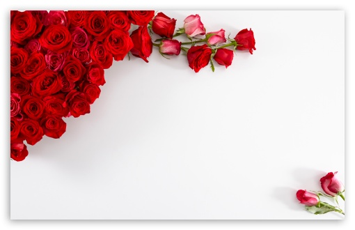 Red Roses on White Background HD wallpaper for Wide 16:10 5:3 Widescreen WHXGA WQXGA WUXGA WXGA WGA ; HD 16:9 High Definition WQHD QWXGA 1080p 900p 720p QHD nHD ; UHD 16:9 WQHD QWXGA 1080p 900p 720p QHD nHD ; Standard 4:3 5:4 Fullscreen UXGA XGA SVGA QSXGA SXGA ; Smartphone 3:2 5:3 DVGA HVGA HQVGA devices ( Apple PowerBook G4 iPhone 4 3G 3GS iPod Touch ) WGA ; iPad 1/2/Mini ; Mobile 4:3 5:3 3:2 16:9 5:4 - UXGA XGA SVGA WGA DVGA HVGA HQVGA devices ( Apple PowerBook G4 iPhone 4 3G 3GS iPod Touch ) WQHD QWXGA 1080p 900p 720p QHD nHD QSXGA SXGA ; Dual 16:10 5:3 16:9 4:3 5:4 WHXGA WQXGA WUXGA WXGA WGA WQHD QWXGA 1080p 900p 720p QHD nHD UXGA XGA SVGA QSXGA SXGA ;