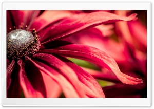 Red Rudbeckia Closeup HD Wide Wallpaper for Widescreen