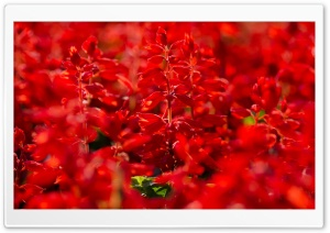 Red Salvia HD Wide Wallpaper for Widescreen