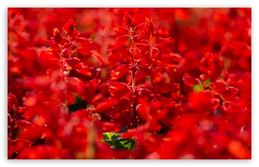 Red Salvia HD wallpaper for Wide 16:10 5:3 Widescreen WHXGA WQXGA WUXGA WXGA WGA ; HD 16:9 High Definition WQHD QWXGA 1080p 900p 720p QHD nHD ; Standard 4:3 5:4 3:2 Fullscreen UXGA XGA SVGA QSXGA SXGA DVGA HVGA HQVGA devices ( Apple PowerBook G4 iPhone 4 3G 3GS iPod Touch ) ; Tablet 1:1 ; iPad 1/2/Mini ; Mobile 4:3 5:3 3:2 16:9 5:4 - UXGA XGA SVGA WGA DVGA HVGA HQVGA devices ( Apple PowerBook G4 iPhone 4 3G 3GS iPod Touch ) WQHD QWXGA 1080p 900p 720p QHD nHD QSXGA SXGA ;