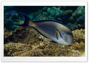 Red Sea Fish Ultra HD Wallpaper for 4K UHD Widescreen desktop, tablet & smartphone