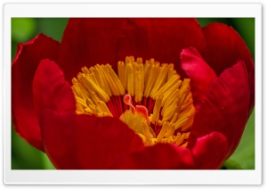 Red Small Flower Macro HD Wide Wallpaper for Widescreen
