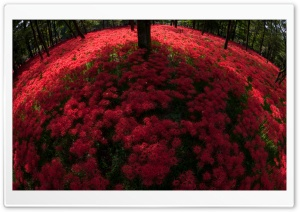 Red Spider Lilies Blooming By Trees HD Wide Wallpaper for 4K UHD Widescreen desktop & smartphone